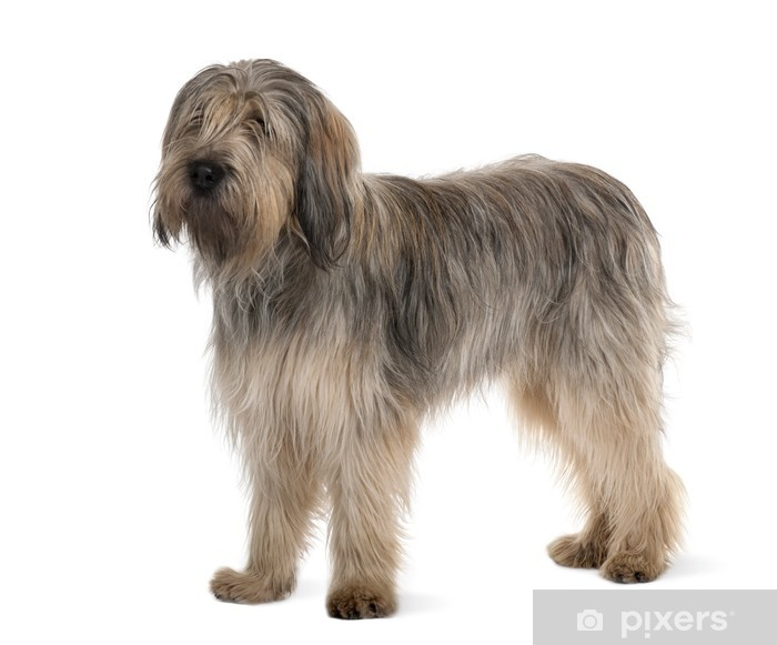 Bearded Collie, standing in front of white background Vinyl Wall Mural - Mammals