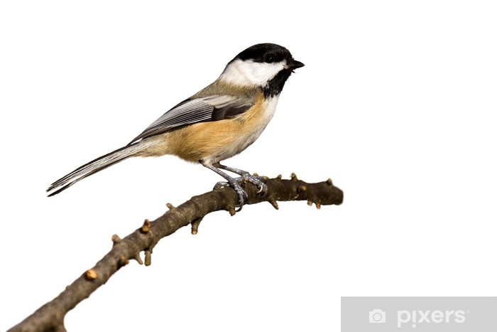 black-capped chickadee perched on a branch prepares for flight Vinyl Wall Mural - Birds
