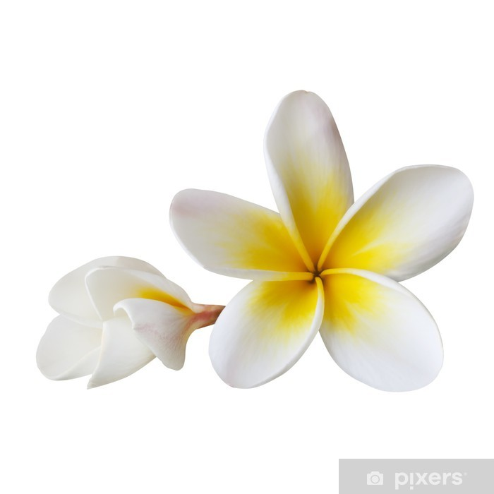 Plakat Plumeria (ze ścieżką) - Kwiaty
