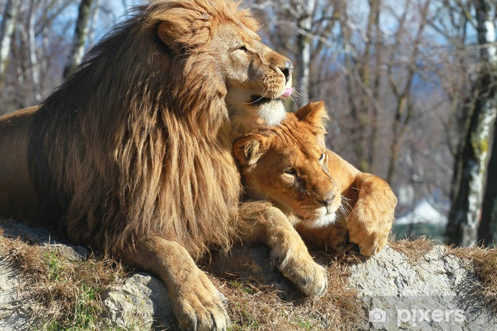 Papier Peint Autocollant Leone e leonessa - Thèmes
