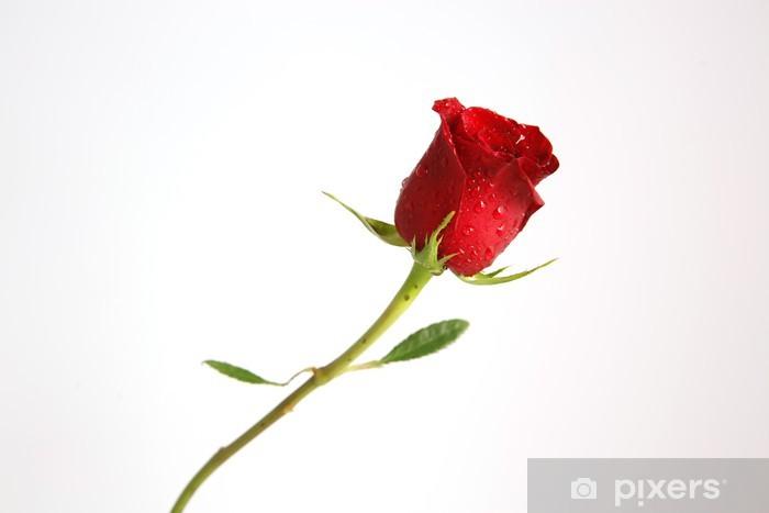Adesivo Un Unico Stelo Di Rosa Rossa Con Uno Sfondo Bianco Pixers