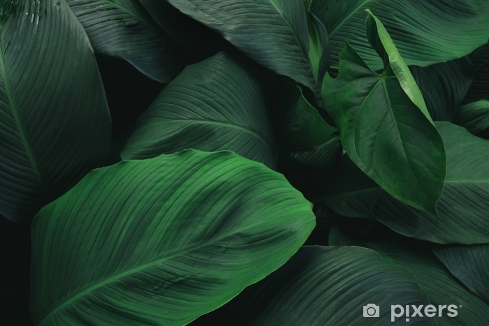 Large foliage of tropical leaf with dark green texture, abstract nature background. Vinyl Wall Mural - Plants and Flowers