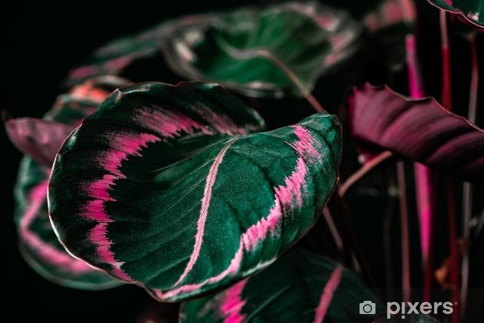 Papier peint vinyle Plante calathea botanique à feuilles vertes et roses, sur fond noir - Plantes et fleurs