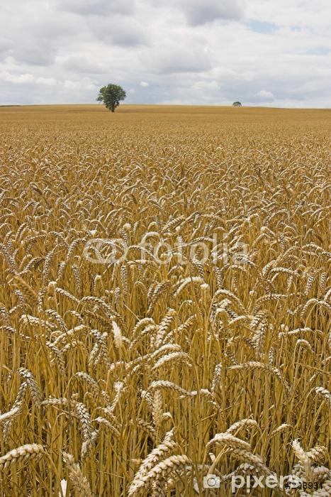 Fototapeta winylowa Barley field - Zboża i płatki