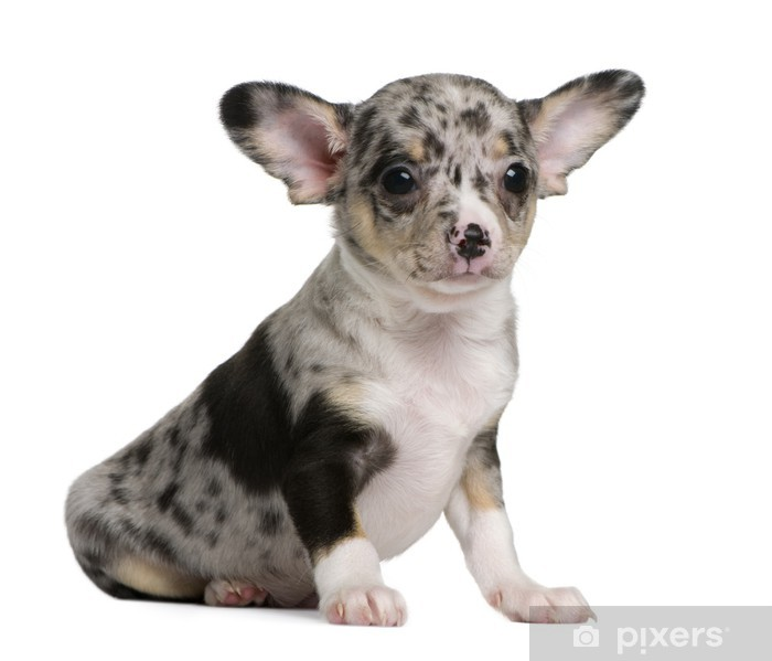 Blue Merle Chihuahua Puppy 8 Weeks Old Sitting Poster Pixers