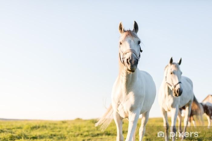 Fototapeta zmywalna Dwa białe konie wyruszają naprzód na zielonym polu trawy. - Zwierzęta