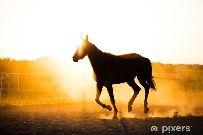 Fototapeta winylowa Czarny koń działa w padoku w zachodzie słońca. - Zwierzęta