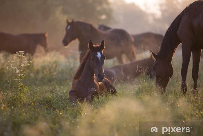 Fototapeta winylowa Źrebię o świcie - Zwierzęta