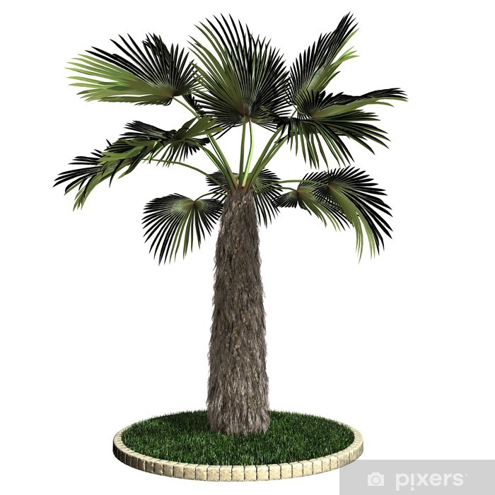 Vinyl-Fototapete Pflanze - Hanfpalme - Pflanzen