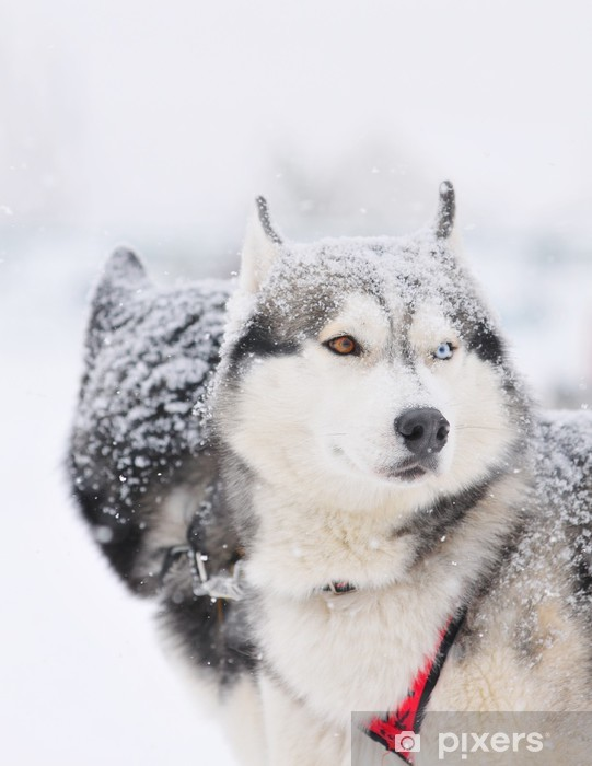 Naklejka Pixerstick Dwóch psów huskys sanki w uprzęży podczas wyścigu na śniegu w zimie - Ssaki