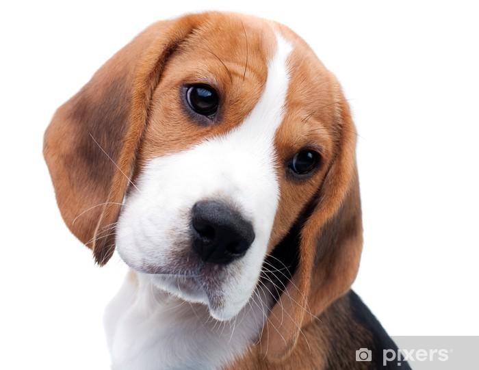 Vinyl Fotobehang Cute Beagle Puppy - Zoogdieren