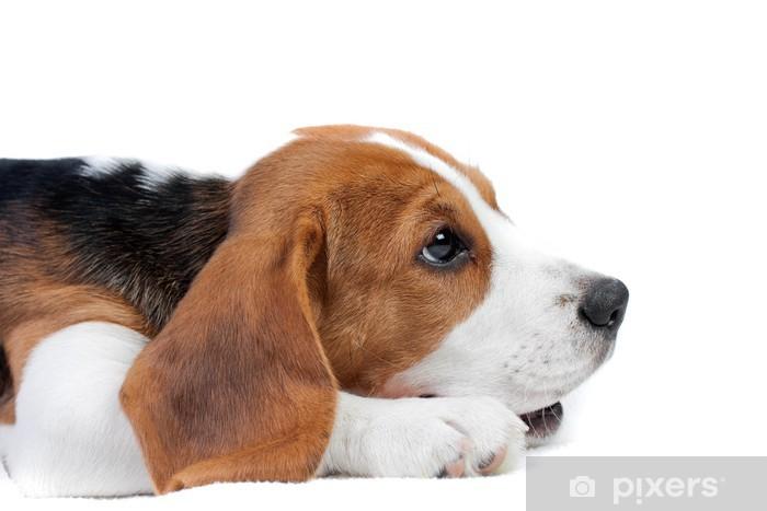 Fototapeta winylowa Beagle puppy leżącego - Ssaki