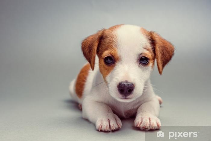 Ogromny Fototapeta Jack russell terrier szczeniak w pozycji leżącej AM17