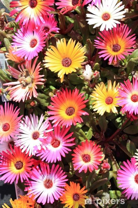 Papier peint vinyle Delosperma cooperi iceplant fuite - Fleurs