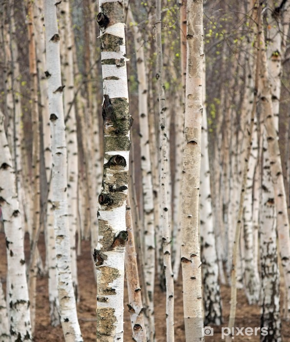 Birch trees in spring Vinyl Wall Mural - Styles