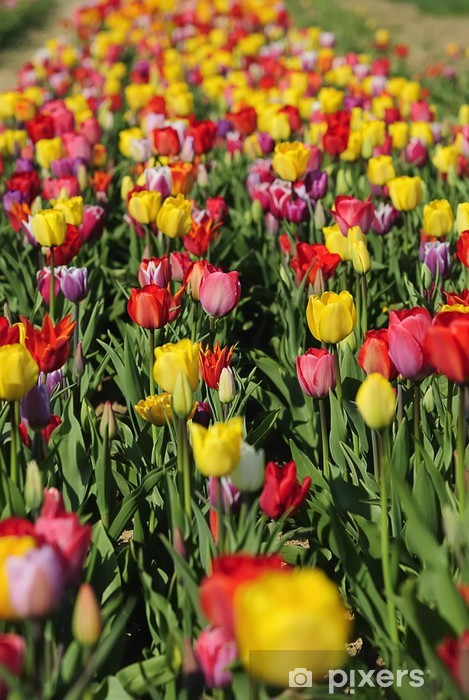 Papier peint vinyle Im tulpenwald 6 - Fleurs
