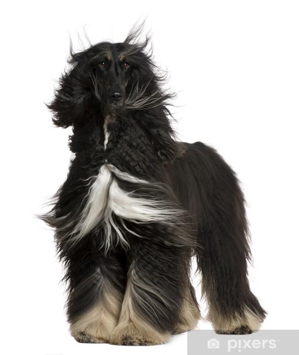 Fototapeta vinylová Afgánský chrt s jeho vlasy ve větru 08a7d871bb