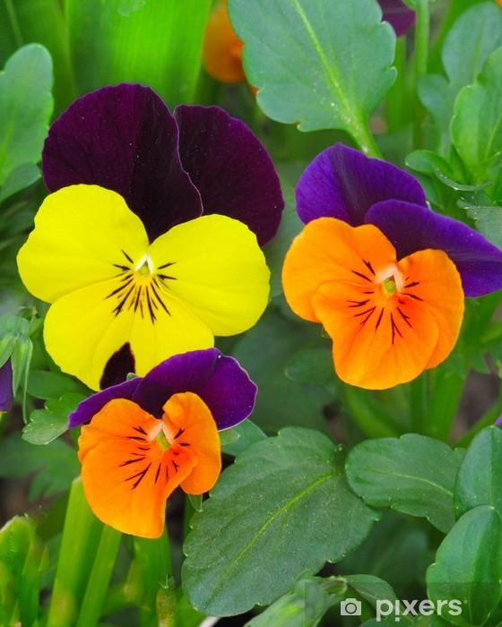 Naklejka Pixerstick Hornveilchen - Kwiaty