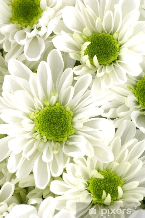Close Up White Chrysanthemum Flowers With Green Center Wall Mural