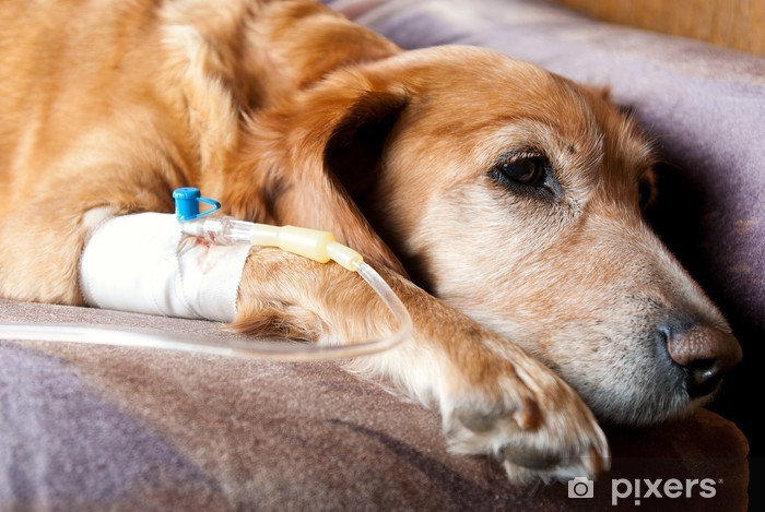 dog lying on bed with cannula in vein taking infusion Pixerstick Sticker - Mammals