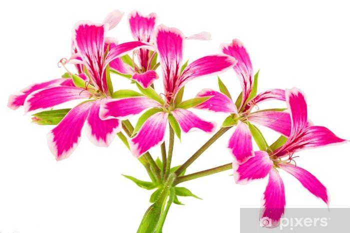 Fototapeta winylowa Geranio - Kwiaty