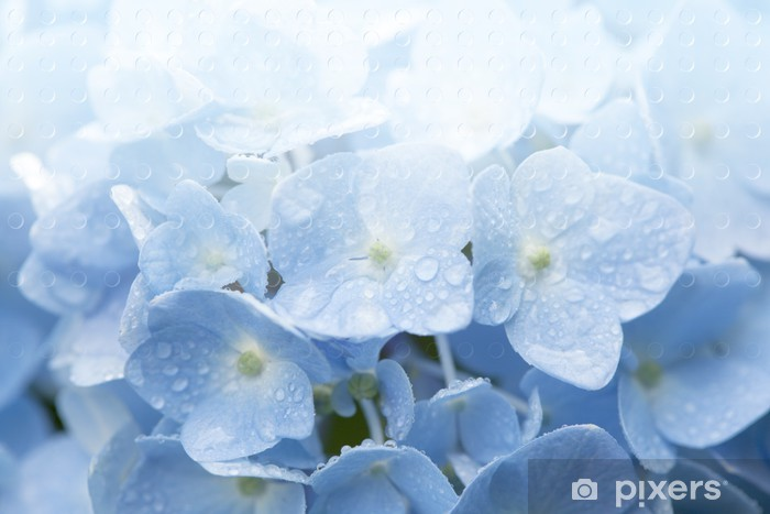 Fototapeta winylowa Hortensja Niebieska - Kwiaty