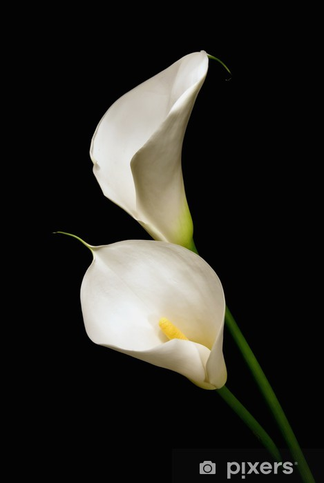Three White Calla Lily On A Black Background Wall Mural Pixers