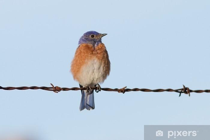 Papier peint vinyle Western Bluebird - Oiseaux
