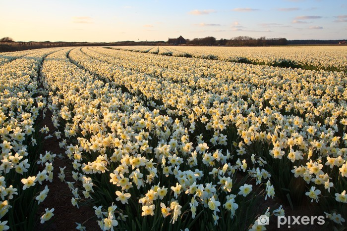 Large narcissus field in spring Vinyl Wall Mural - Agriculture