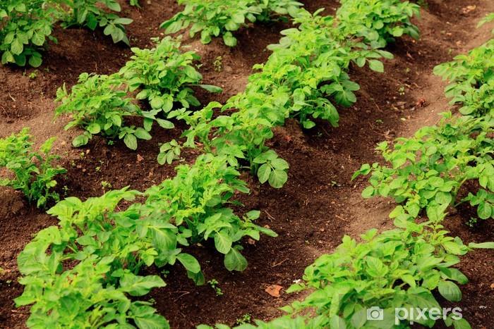 Adesivo Pixerstick Righe di crescita patata verde - Pasti
