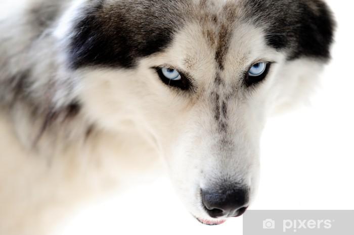 Fototapeta winylowa Blue eyed husky pies na białym tle bez szwu - Husky