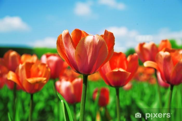 Fototapeta winylowa Pole czerwone tulipany na tle niebieskiego nieba - Kwiaty