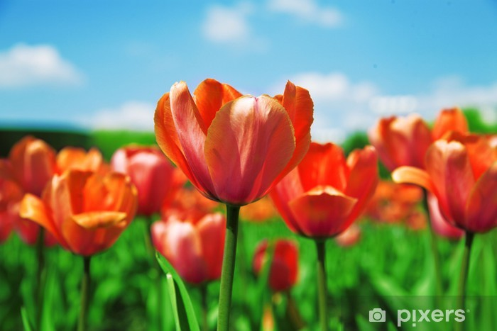 Naklejka Pixerstick Pole czerwone tulipany na tle niebieskiego nieba - Kwiaty