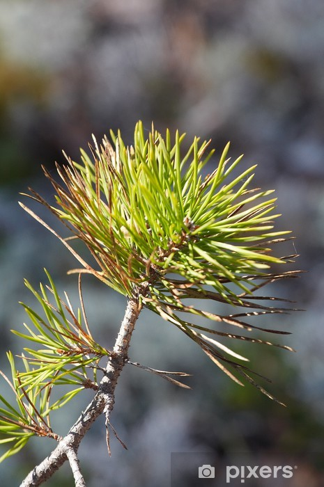 Fototapeta winylowa Gałąź sosny - Drzewa