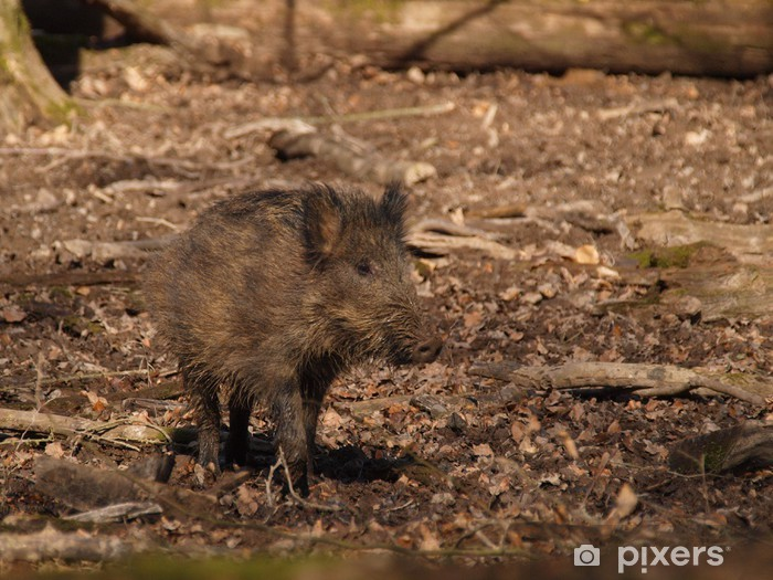Pixerstick Sticker Wild Boar - Sus scrofa - Zoogdieren