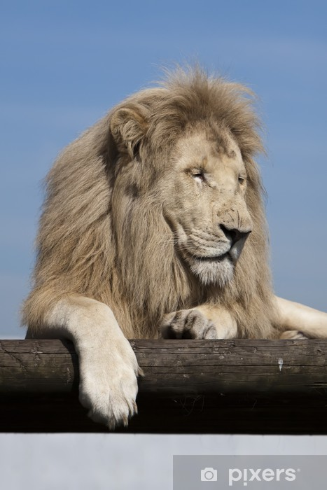 Nálepka Pixerstick Sleepy bílý lev - Asie