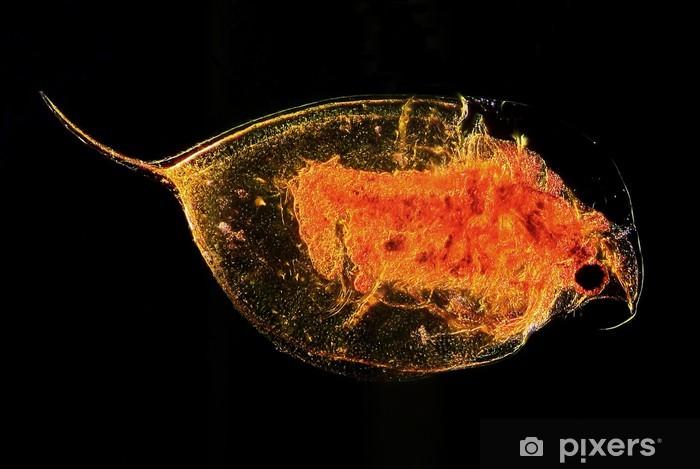 Fototapeta winylowa Obraz mikroskopowy planktonu wody pcheł Daphnia - Zdrowie i medycyna
