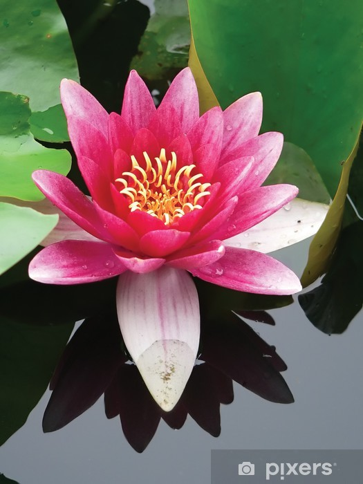 Sticker Pixerstick Gros plan fleur de lotus - Fleurs