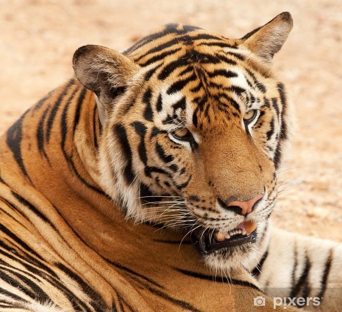 Papier peint vinyle Tiger portrait - Thèmes
