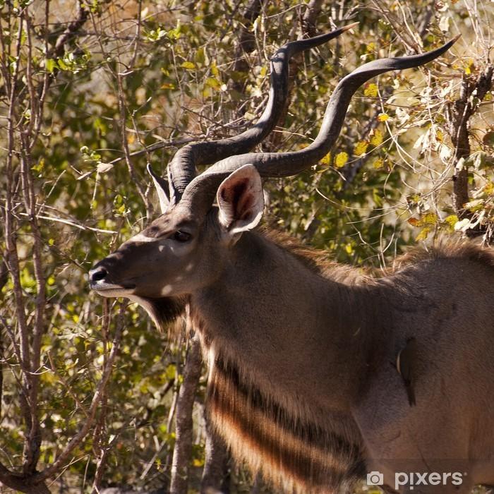 Fototapeta winylowa Antylopy Kudu w Afryce - Ssaki