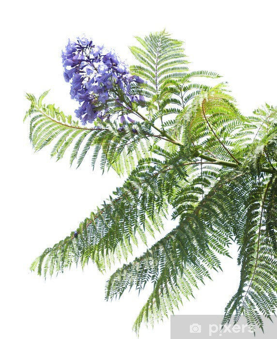jacaranda mimosifolia wall mural • pixers® • we live to change