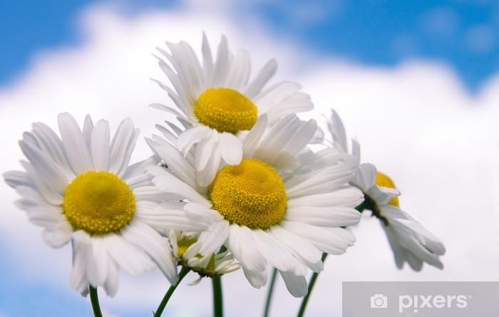 Papier peint vinyle Fleurs de camomille sur large champ - Fleurs