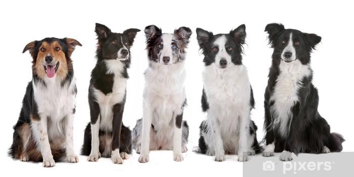 Vinyl Fotobehang Vijf border collie honden - Muursticker