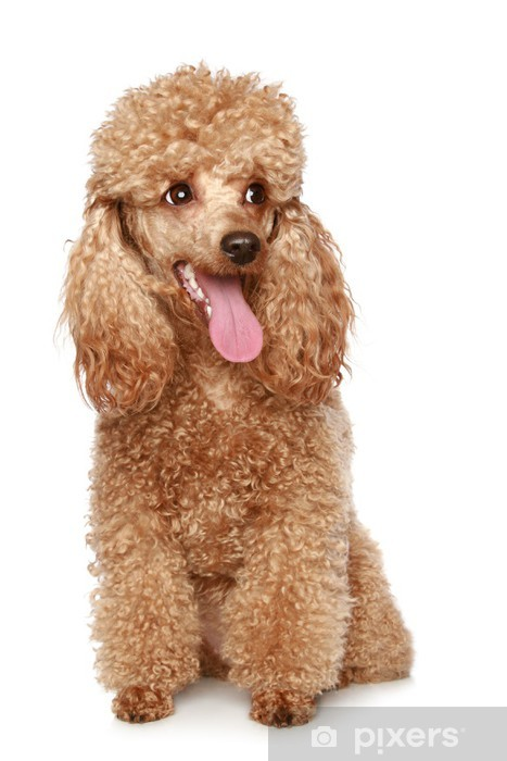 Apricot poodle puppy Vinyl Wall Mural - Mammals