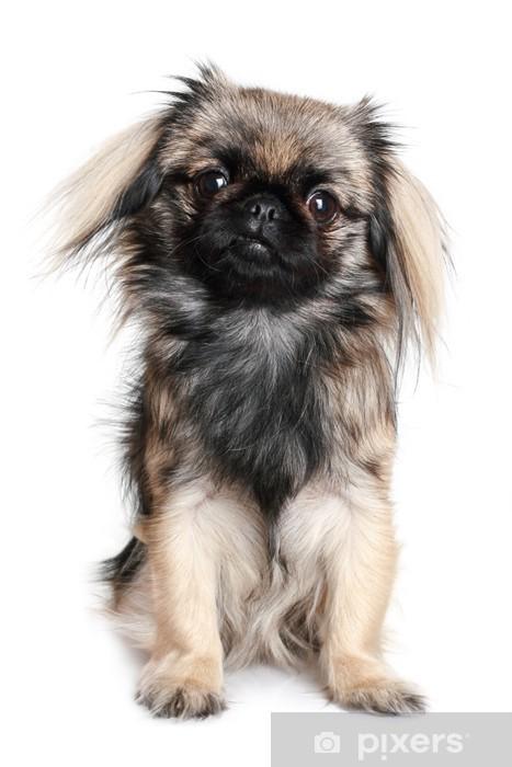 Sticker Pixerstick Pékinois chien - Mammifères