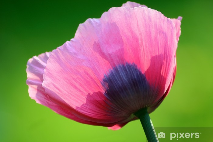 Naklejka Pixerstick Rosa Mohn II - Kwiaty
