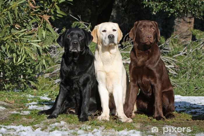 Three Colors Of The Coat Of The Labrador Wall Mural Vinyl