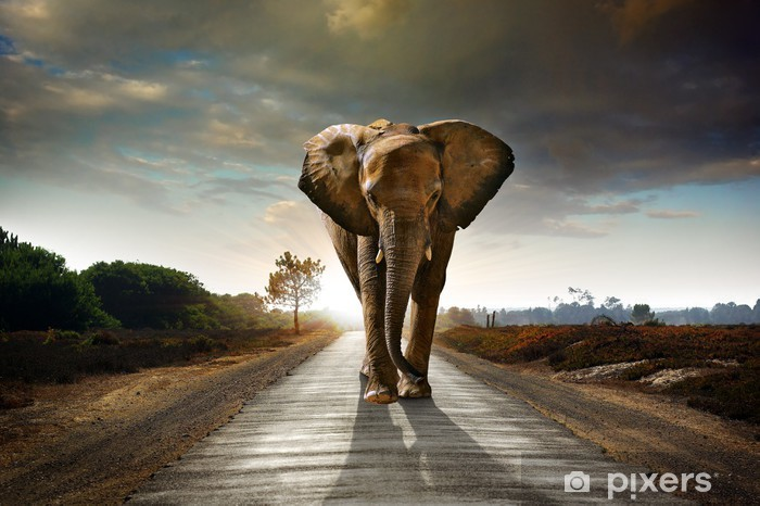 Fototapeta winylowa Walking słonia - Słonie