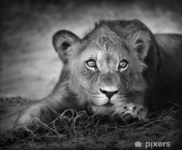 Young lion portrait Vinyl Wall Mural -