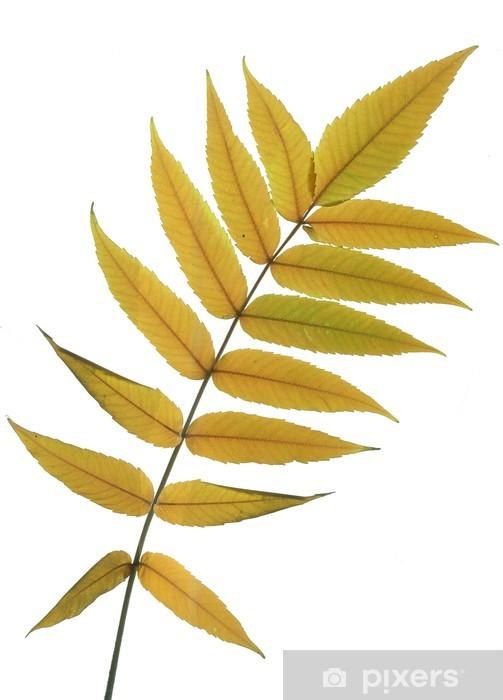 Fototapeta winylowa Jesienne liście z jesionu - Pory roku